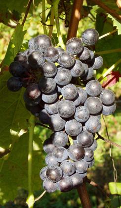 cordenossa-vitigno-thumb