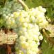 ucelu-vitigno-thumb1