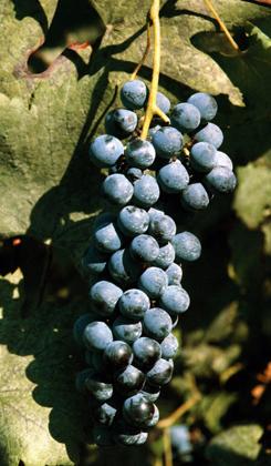 cianorie-vitigno-thumb