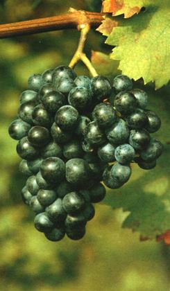piculit-vitigno-thumb
