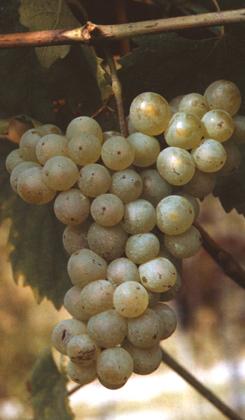 scjaglin-vitigno-thumb